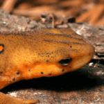 salmander