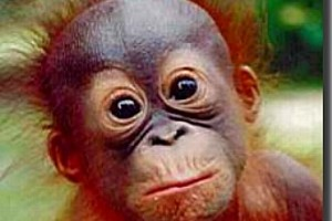 Animals Today – Oct 7, 2012: Michele Diselets, Orangutan Land Trust