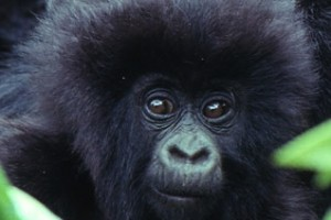 Animals Today  – December 2, 2012. Craig Sholley, African Wildlife Foundation. Conservation of Gorillas and other wildlife