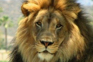 Animals Today May 26, 2013 – Adam Roberts, Consumption of Lion Meat in North America