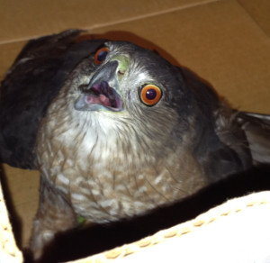 Cooper's Hawk we rescued