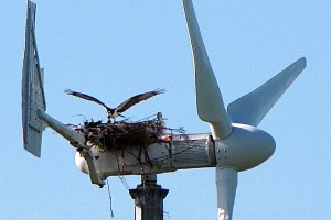 Animals Today November 17, 2013: Birds, Bats Wind Turbines and Problems with Green Energy featuring Mark Duchamp