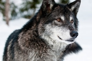Animals Today – December 29, 2013  – Wolves are in crisis! Can they be saved? Mike Bond provides history and analysis.