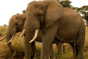 Animals Today – June 29, 2014. Fighting elephant poaching and the illegal ivory trade.