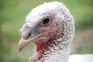 Animals Today November 30, 2014.  The truth about turkeys. Holiday animal safety. Cool new species found.