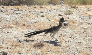 Palm Springs Roadrunner