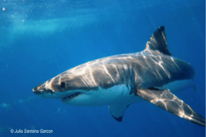 Animals Today –  July 5, 2015: Sharks and Rays under pressure. Can they be adequately protected? Disaster preparedness for everyone.