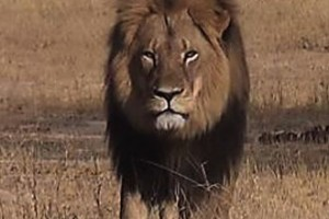 Animals Today August 16, 2015. The Killing of Cecil causes hunter to quit. Protecting pangolins.