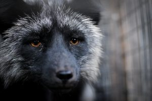 Animals Today December 1, 2018: Fur farming in Europe. Is your city friendly for pets? The book, Rescuing Ladybugs, by Jennifer Skiff. Encouraging cats to stay hydrated. Toxic mushrooms pose serious risks, especially to dogs.