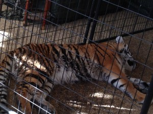 Tiger in small cage at the 2014 Riverside Fair