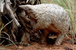 Pangolin. Photo credit: Scott Hurd