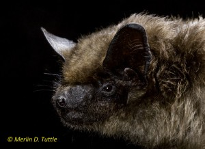 Serotine Bat (Eptesicus serotinus) from Bulgaria. Portraits, Vespertilionidae, ranges across Europe and W Asia to China