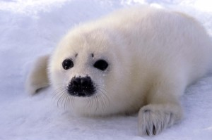 Harp Seal. Photo: Sea Shepherd Conservation Society
