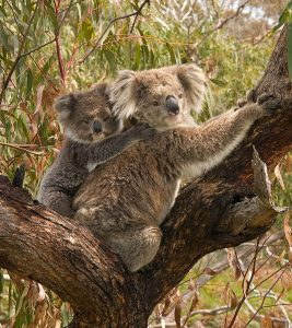 800px-koala_and_joey