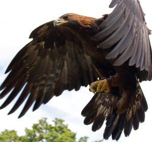 Golden Eagle, Mexico's national bird.