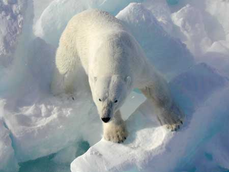 Fun Facts about Polar Bears