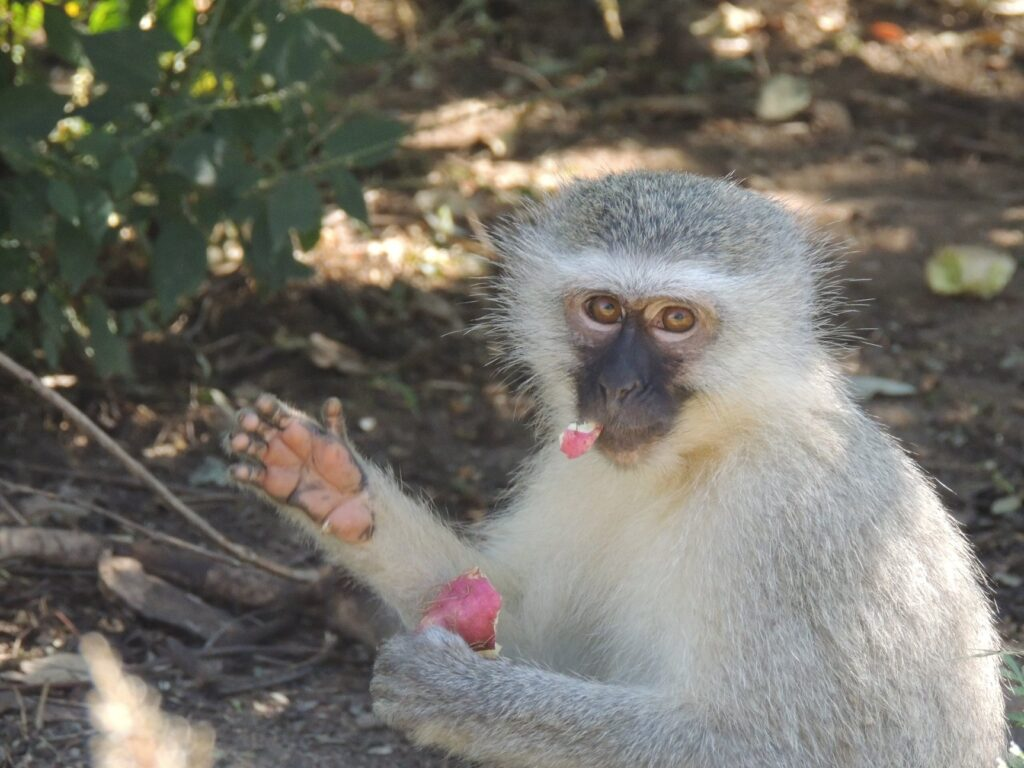 Helping Vervet monkeys