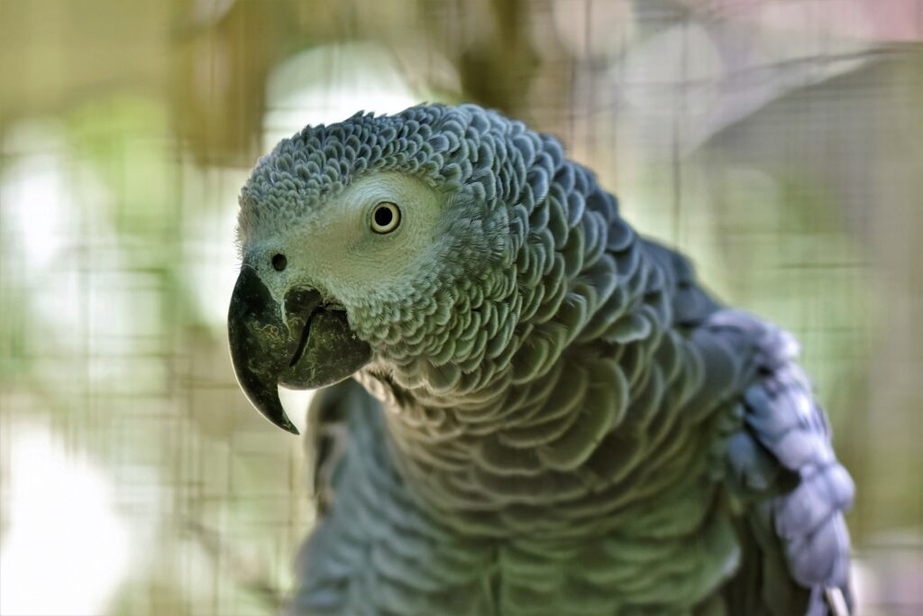 The illegal trade of African Grey Parrots