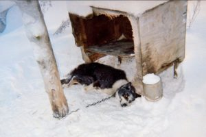 The Iditarod sled dog race must end