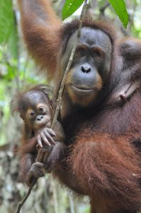 How can we save orangutans from extinction?