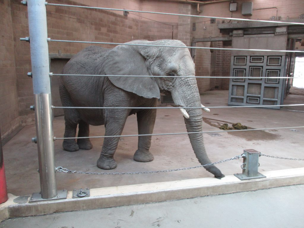 Elephants in Captivity