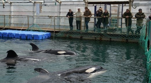 Cute whales released from russian whale jail
