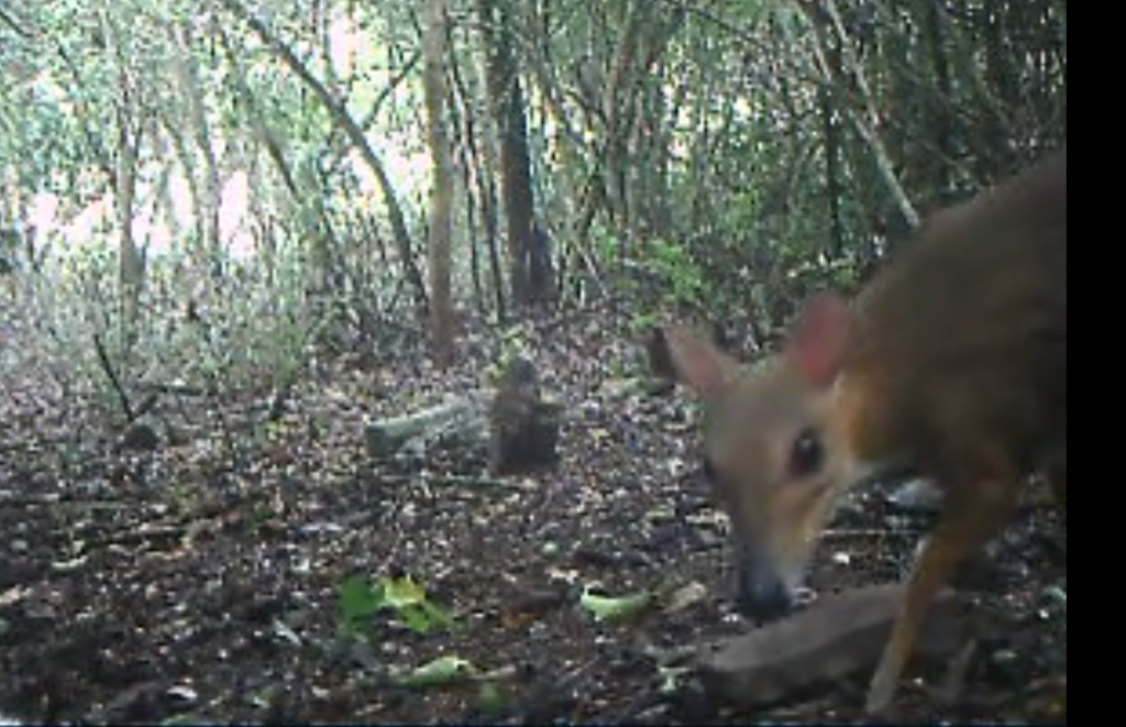 the first sighting in decades of the diminutive mammal called the silver chevrotain in Vietnam