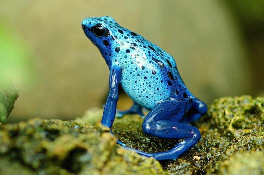 Why is the amphibian population declining?