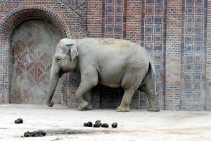 How do Zoos Harm Elephants?
