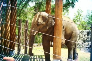 Why are zoos bad for elephants?