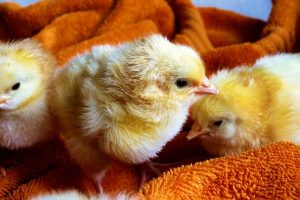 Why is the egg industry cruel?