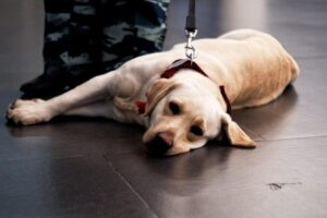 Can Veterans benefit from a Service Animal?